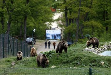 How much can Romania bear? Killing bears is back on the cards